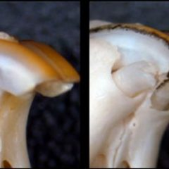 Imagem da notícia: Cientistas descobrem novo medicamento para regenerar dentes perdidos